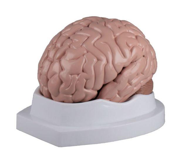 Gehirn 5-teilig Erler Zimmer