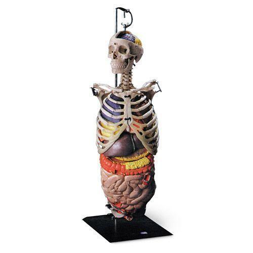 Skelett des Oberkörpers mit Organen W47053