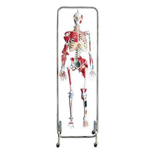 Physiotherapie Skelett W47001