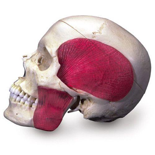 BONElike™ Schädel - Kombischädel Transparent/Knochen, 8-teilig A282