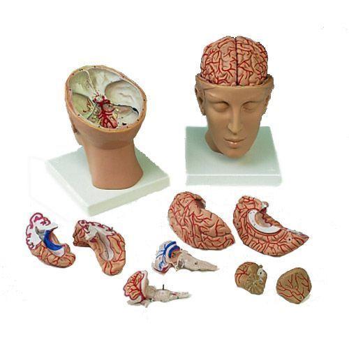 Gehirn mit Arterien auf Kopfbasis, 8-teilig C25
