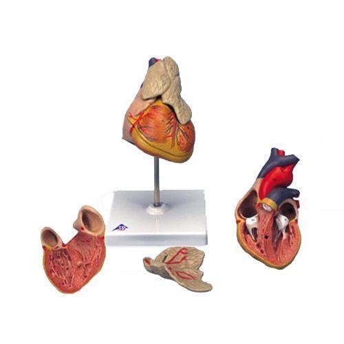 Klassik-Herz mit Thymus, 3-teilig G08/1