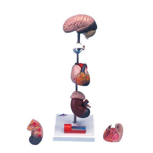 Bluthochdruckmodell, 7-teilig G35