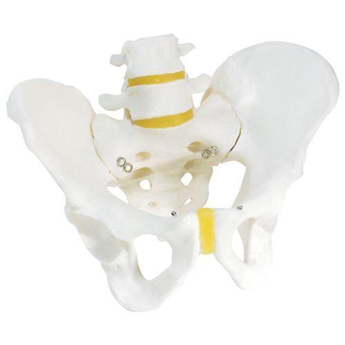 Becken-Skelett, männlich A60