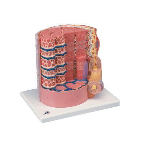 3B MICROanatomy™ Muskelfaser - 10.000-fache Vergrößerung B60