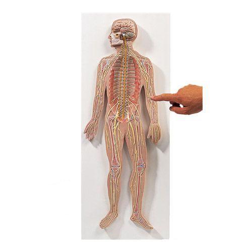Nervensystem, 1/2 natürliche Größe C30