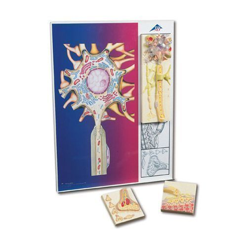 Nervenphysiologie-Serie, 5 magnetische Modelle auf illustrierter Metalltafel C40