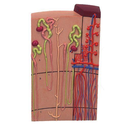 Nephron mit Blutgefäßen, 120-fache Größe K10/1