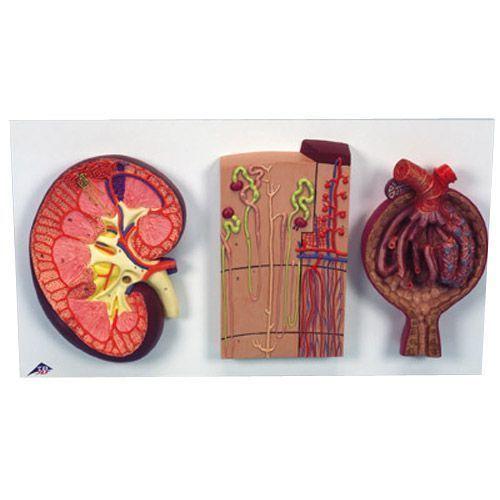Nierenschnitt, Nephron, Blutgefäße und Nierenkörperchen K11