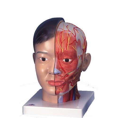 Asiatischer Kopf mit Hals, 4-teilig C06