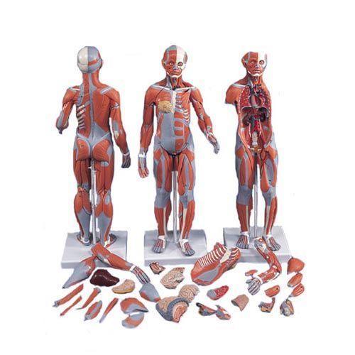 Muskelfigur, zweigeschlechtig mit inneren Organen, 33-teilig B55