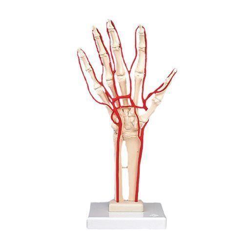 Handskelett mit Arterien M17