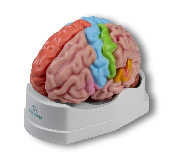 Gehirn, funktionell/regional, 5-teilig Erler Zimmer