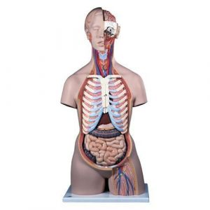 Geschlechtsloser Klassik-Torso mit geöffnetem Rücken, 21-teilig B17