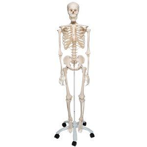 Standard-Skelett Stan, auf 5-Fuß-Rollenstativ A10