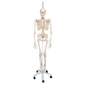 Physiologisches Skelett Phil, auf Hängestativ A15/3
