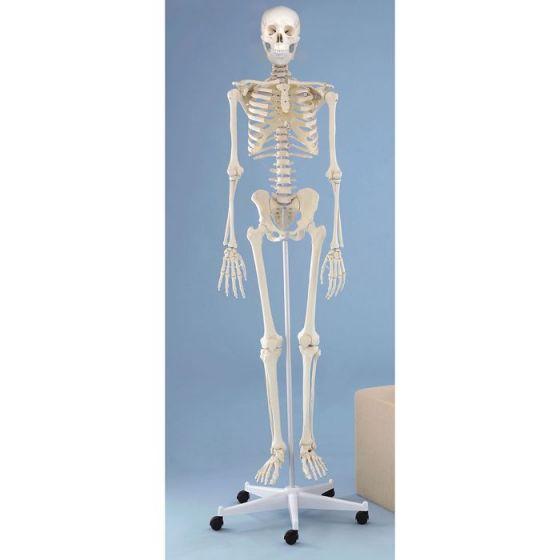 Skelett Willi Standard Erler Zimmer