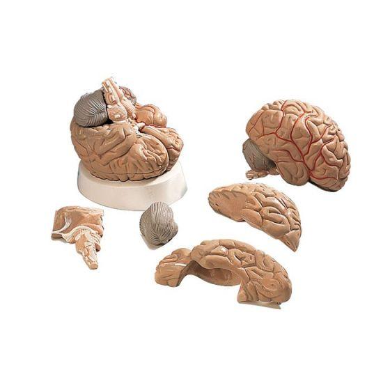 Gehirn mit Arterien, 5-teilig VH405