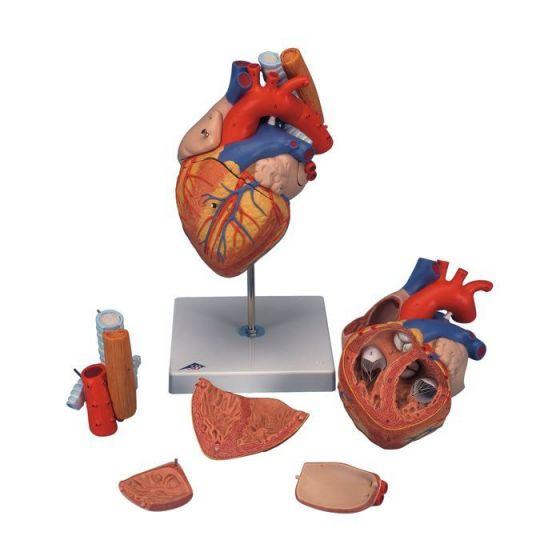 Herz mit Luft- und Speiseröhre, 2-fache Größe, 5-teilig G13