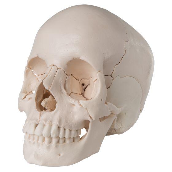 3B Scientific Steckschädel – Anatomische Version, 22-teilig A290