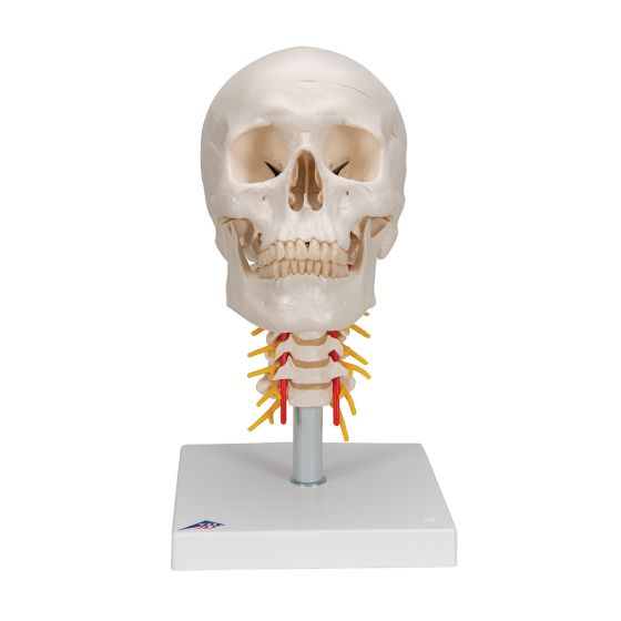Klassik-Schädel auf Halswirbelsäule, 4-teilig A20/1