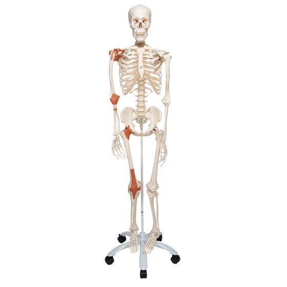 Skelett Leo mit Gelenkbändern, auf 5-Fuß-Rollenstativ A12