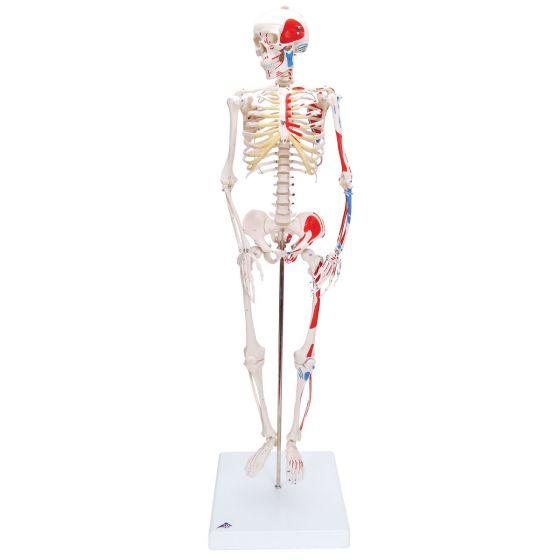 "Mini-Skelett ""Shorty"" mit Muskelbemalung, auf Sockel A18/5"