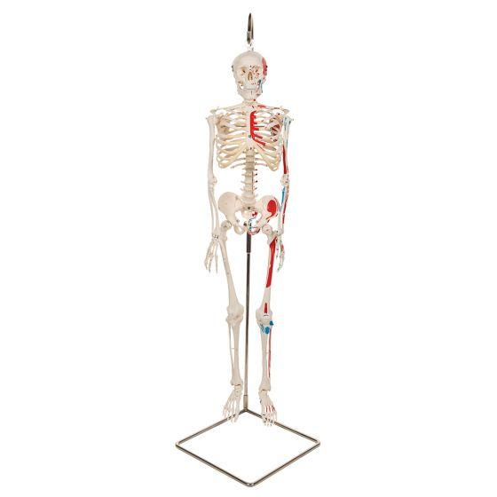 "Mini-Skelett ""Shorty"" mit Muskelbemalung, auf Hängestativ A18/6"