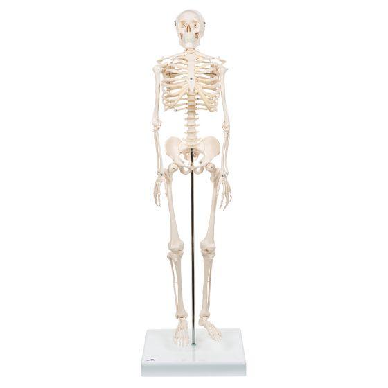 "Mini-Skelett ""Shorty"", auf Sockel A18"
