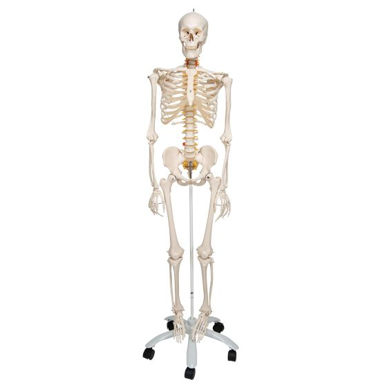Squelette flexible Fred, sur support für 5 roulettes A15